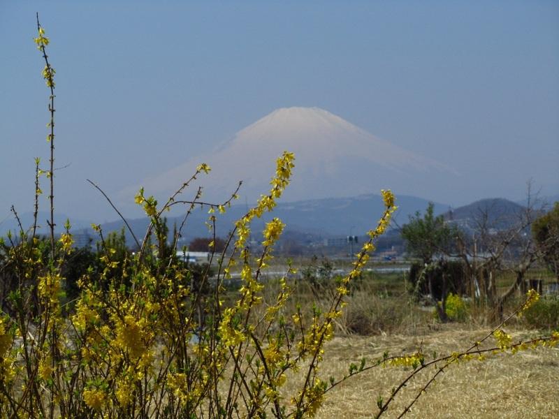 連翹(レンギョウ) 富士山