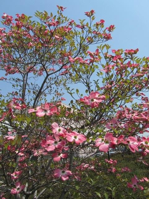 花水木写真(ピンクハナミズキ画像)