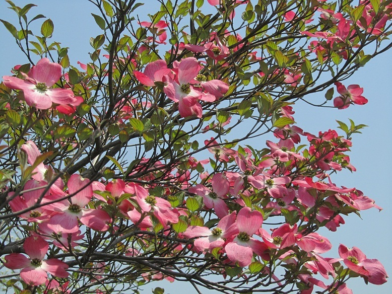 花水木写真(ピンクハナミズキ画像