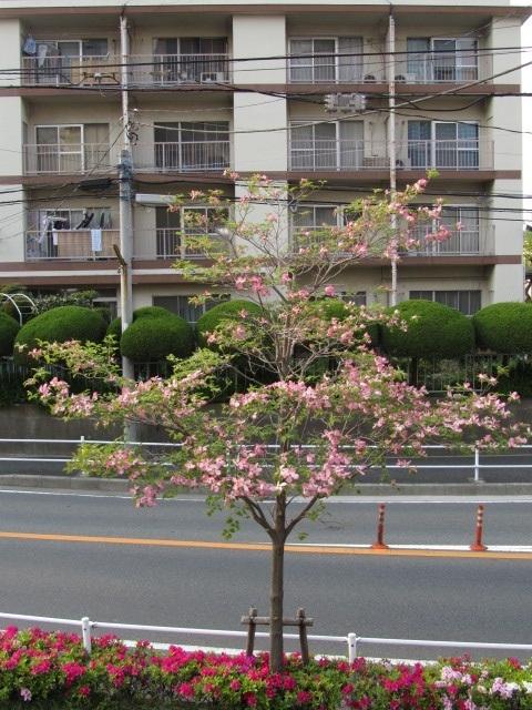 ⇒花水木写真(ピンクハナミズキ画像 ツツジ