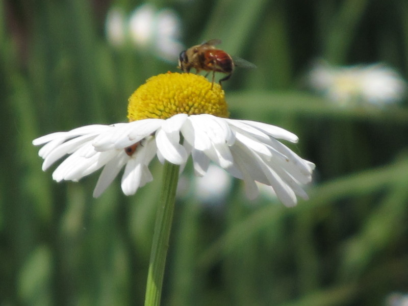 ⇒マーガレット 蜂