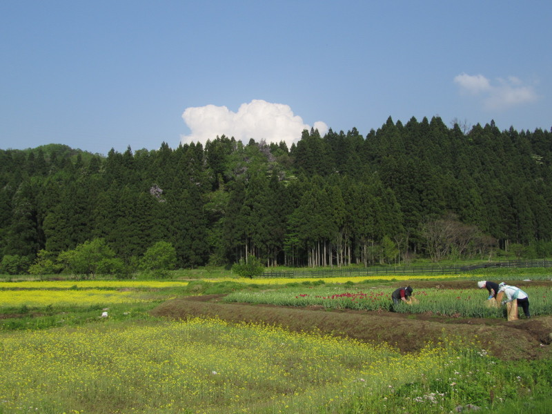 富山県立山市 菜の花