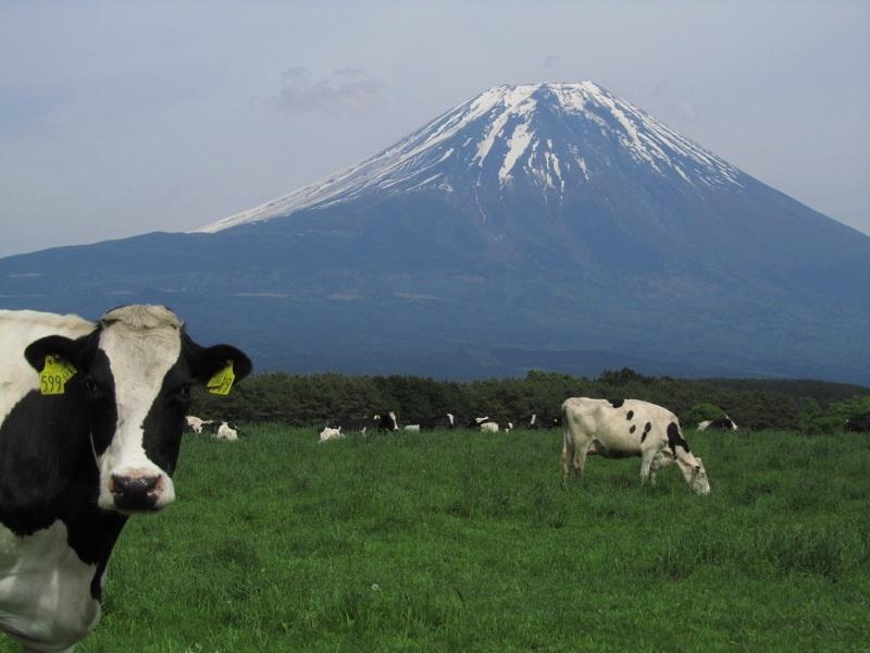 牛 富士山 朝霧高原