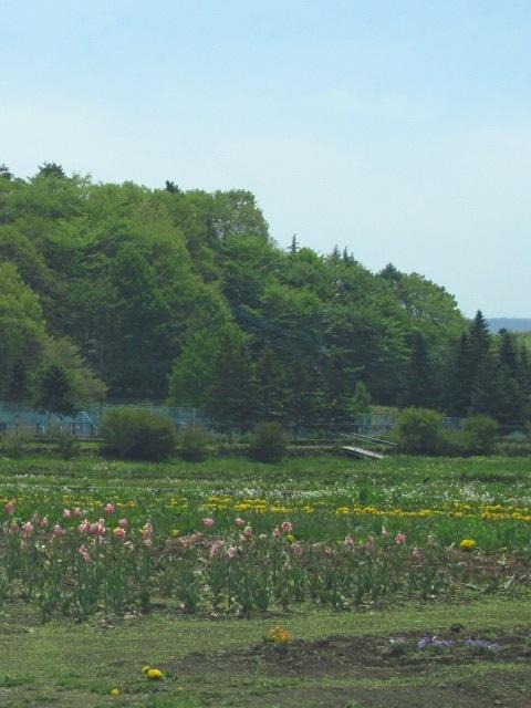 山中湖花の都公園の開花状況画像。今現在はこの菖蒲だけだった