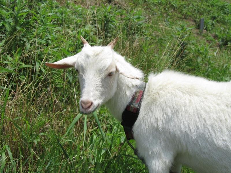 草を食べてるヤギ