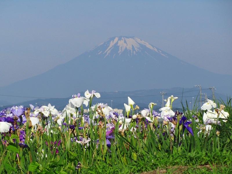 花菖蒲 富士山