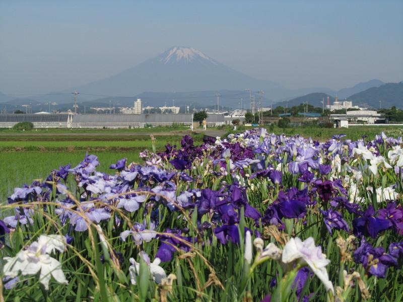 富士山 花菖蒲