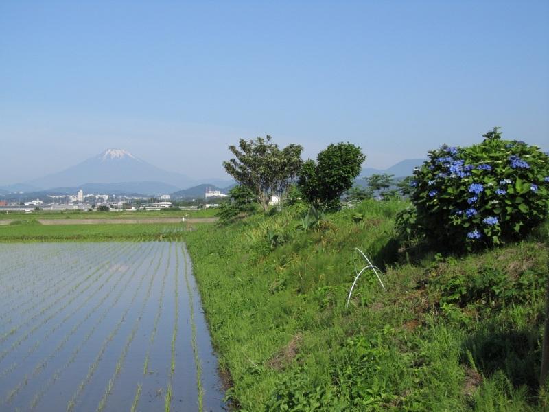 富士山 アジサイ