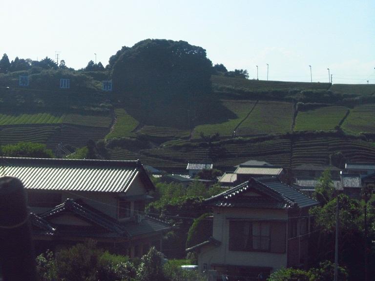 菊川 茶畑