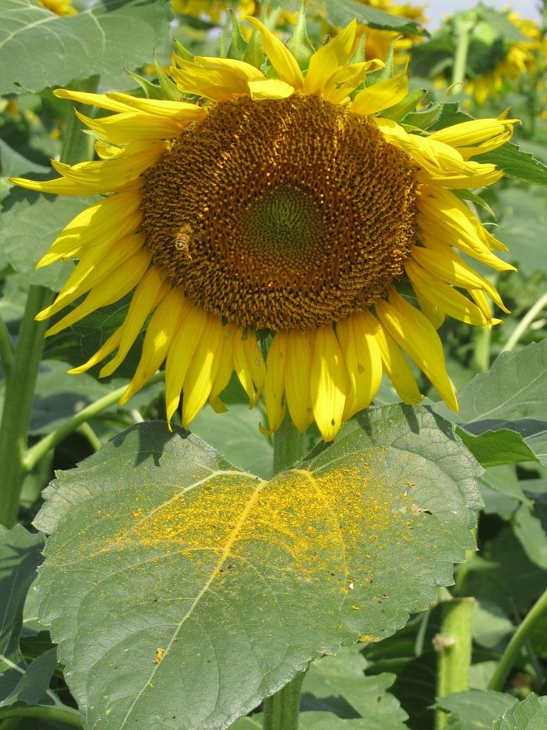 黄色い粉 ひまわり