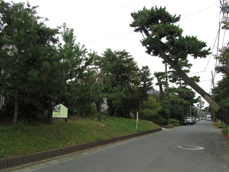 旧東海道 大磯 松